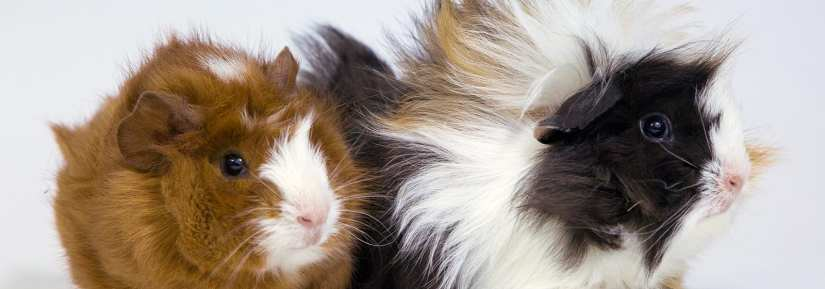 Two guinea pigs with fluffy hair