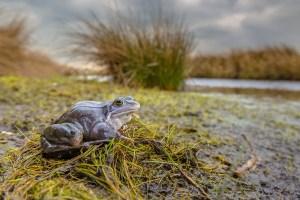 Blue Moor frog (Rana arvalis) in breeding habitat.