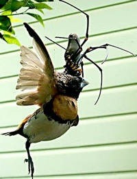Golden Orb Weaver Spider feasts on a finch