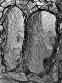Echinocystis lobata