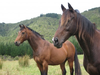 Bram (Bay Anglo-Arab) and Fox (Dark brown Thoroughbred)