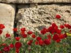 Poppies in Turkey.