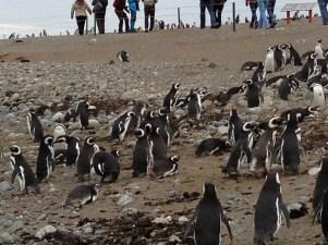 Magellanic Penguins in Isla, Magdalena, Chile. Dec, 2012.