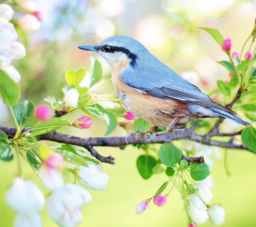 Blue bird with apple blossoms.