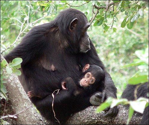 Chimpanzees - Handout photo provided by Nature magazine