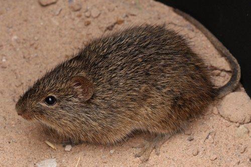 The cotton rat - a valuable model for studying lung disease. Image: J.N. Stuart