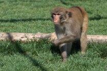 Macaque. Kathy West. CNPRC. 10