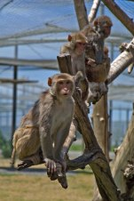 Macaques. Kathy West. CNPRC. 19