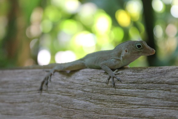 My little lizard friend was unbothered as I approached to take photos while he lay still on the bench.