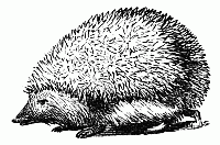 Line drawing of a hedgehog