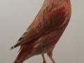 agaatkobalt-rood-schimmel
