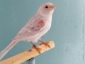 agaatopaal-roodmozaiek-type-1