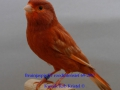 bruinjaspis-rood-intensief