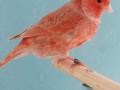 isabelkobalt-rood-schimmel