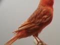phaeo-rood-intensief
