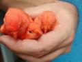 roodsnavel-rood-intensief-urucum