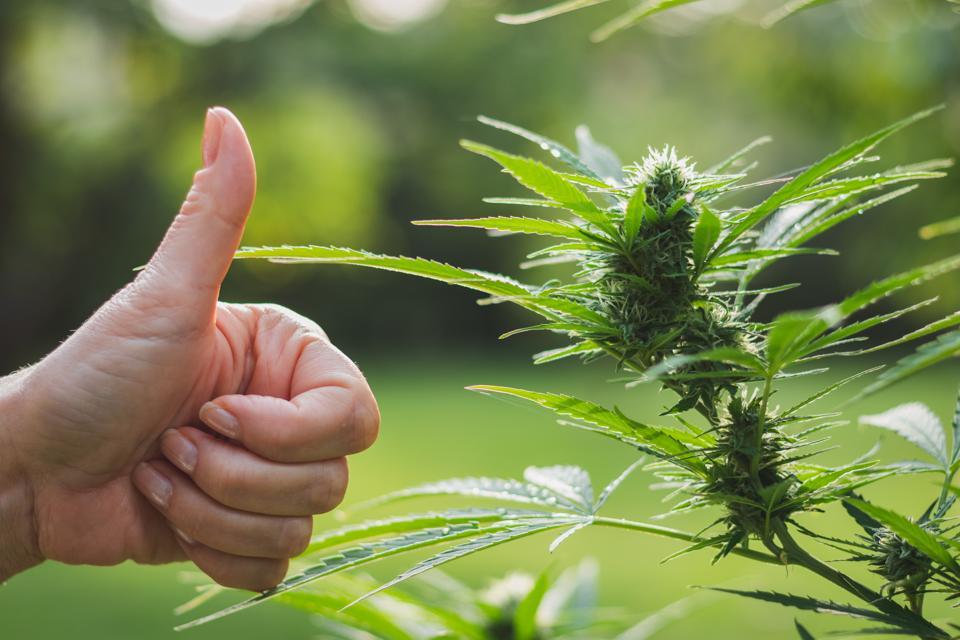 Gesturing thumbs up for good harvest of marijuana. Cannabis plant for alternative medicine.