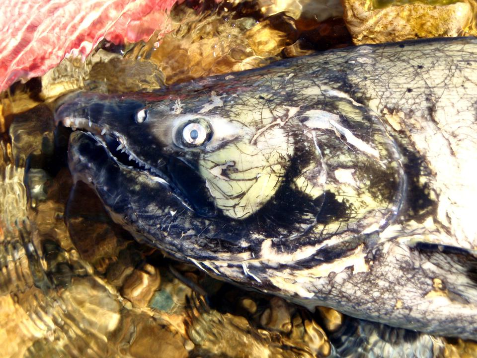 Chinook salmon found dead in British Columbia spawning grounds.