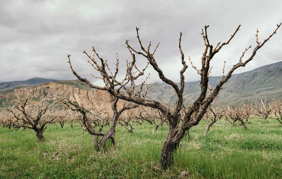 Free standing grape vines in Armenia