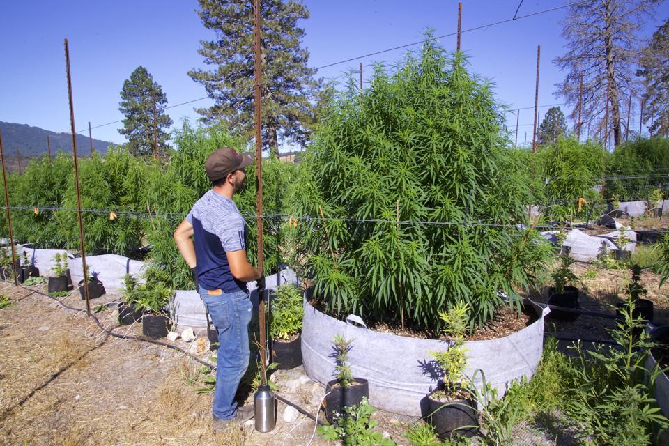 Sparc outdoor farm blue dream veg