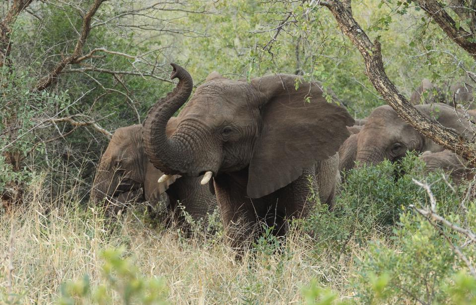 The African Bush elephant in the bush in Zululand, South Africa.