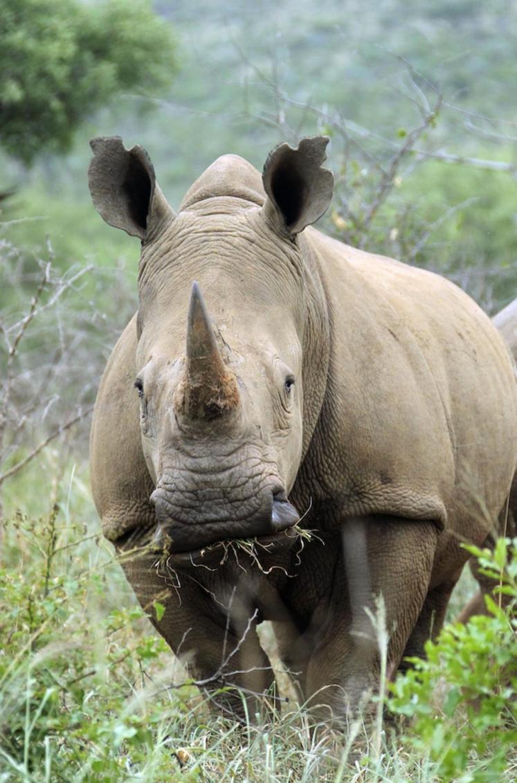 A Rhino in the wild