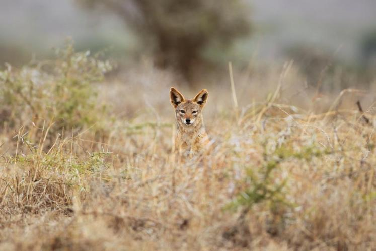The Black-backed Jackal in the wild as seen through the bushes