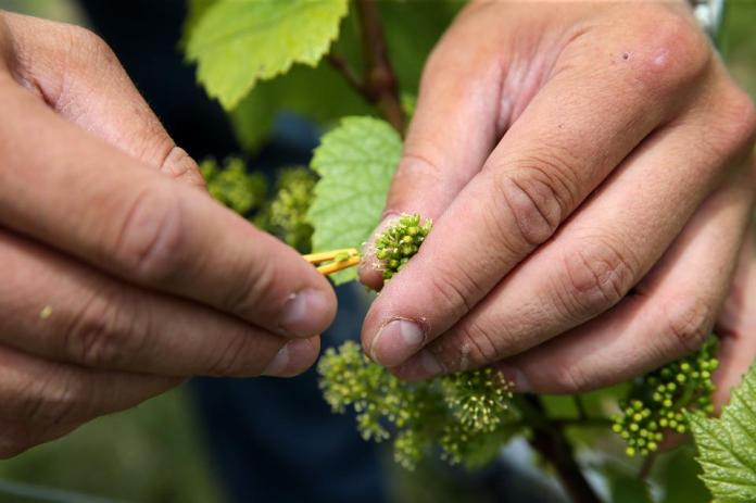 FRANCE-AGRICULTURE-CLIMATE-CHANGE-CHAMPAGNE