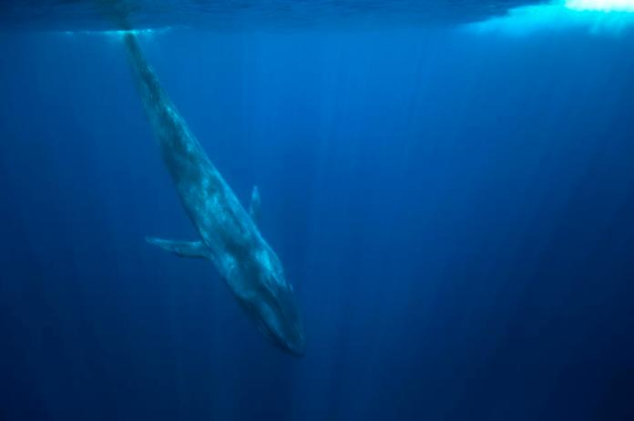 Blue Whale (Balaenoptera musculus) off the coast of Sri Lanka