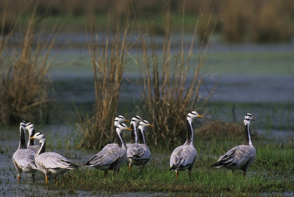 India, Near Delhi, Sultanpur National Park, Bar-headed Geese...