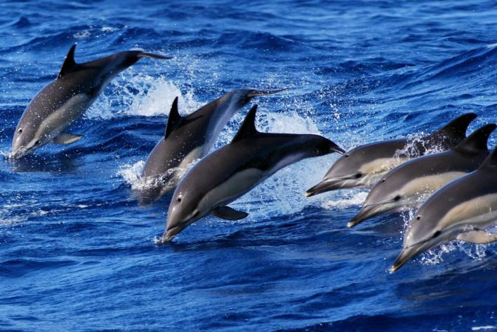 Six dolphins are jumping out of the Atlantic Ocean off the coast of São Miguel, Azores