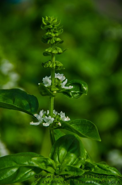 basil-flowers