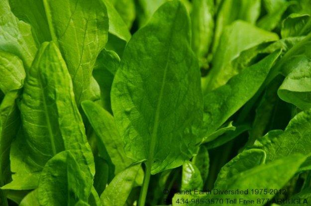 green-sorrel