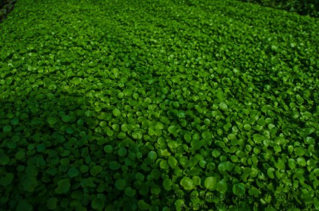 micro-watercress