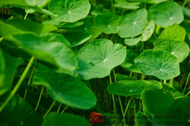 nasturtium-leaf