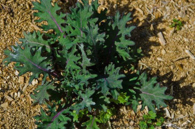 red-russian-kale-2