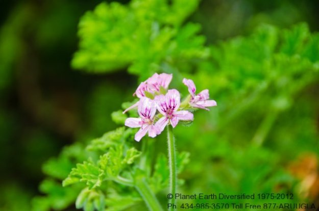 rose-geranium-flower