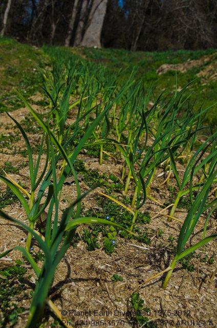 spring-garlic-3-2