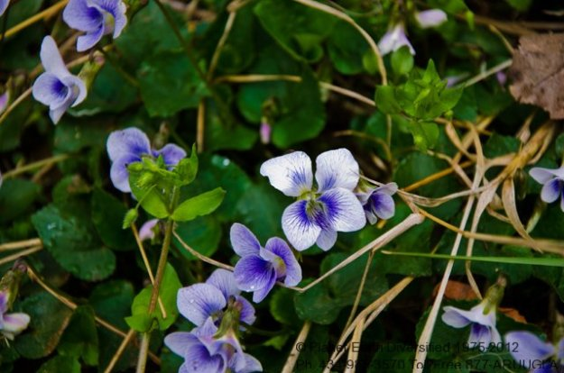 Edible Violet Flowers