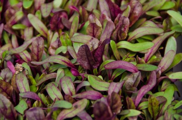 nano-micro-buls-blood-beet-leaf
