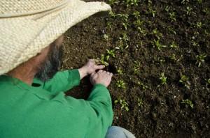 Planting Chard plugs