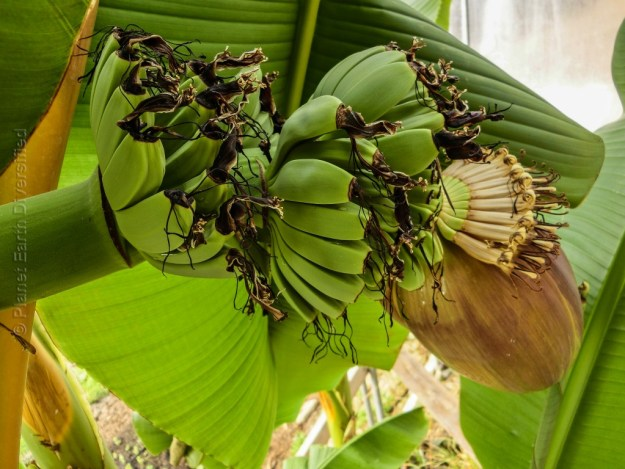 Fruiting Banana Trees in GH4