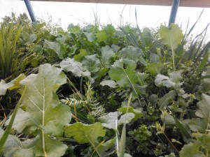 Kale in Greenhouse