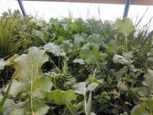Kale in Greenhouse