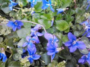 2016 CSA Spring April 2nd Violets