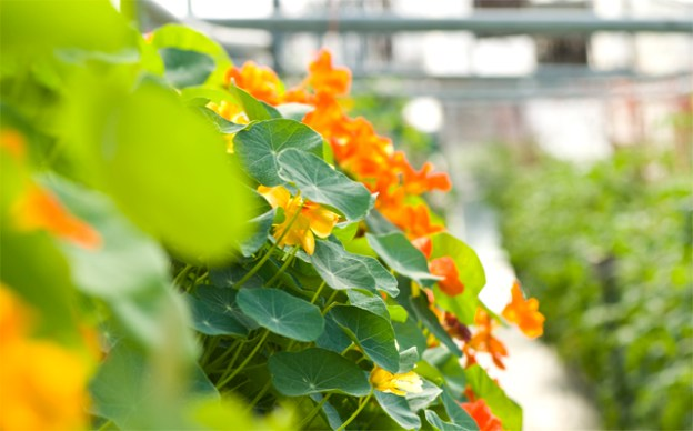 2017CSA_Winter_Mar_25 nasturtium flowers