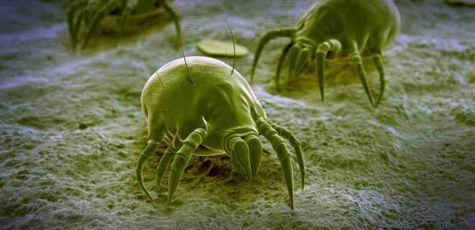 Multiple Dust Mites