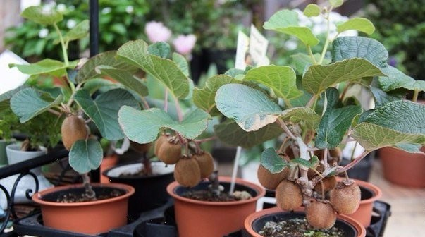 How to grow kiwi from seeds at home, instructions for growing bone + photo