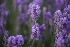 lavenderflowers