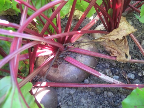 Red beet at Alnarp